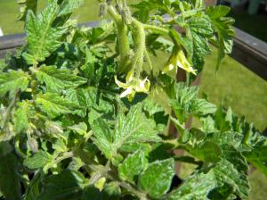 It's mid-May, and I already have tomato blossoms.